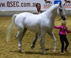 STOCK - Arabian Gala 2013 -81 by fillyrox