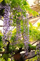 wisteria season by jyoujo