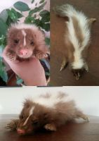 Chocolate Baby Skunk Softmount SOLD by DeerfishTaxidermy
