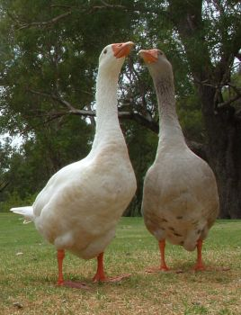 Geese in Love by wounded-bull