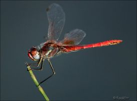 Dragonfly by Loneiris