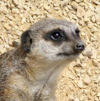Meerkat closeup by Vitaloverdose