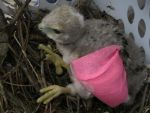 Baby Red-Tailed Hawk 7 by Windthin