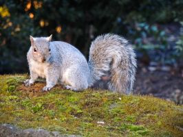 Grey Squirrel by Ajumska