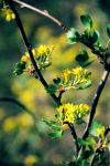film. Golden Currant by Zeitwolf