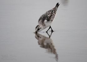 Least Sandpiper by Plasse-Photography