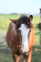 Clydesdales 18 by okbrightstar-stock