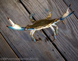 MD Crab by BPhotographic