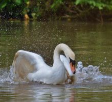 Cygnets Shropshire May 2014 4 7 by melrissbrook