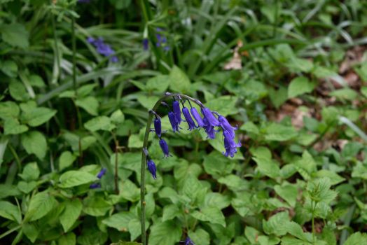 DSC 0066  English Bluebell by wintersmagicstock