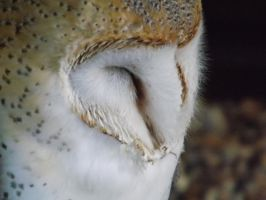 Sleepy Barn Owl by MGMTSarah1997