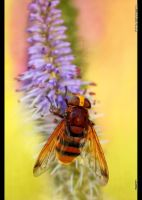 Giant Hover Fly by jnOne