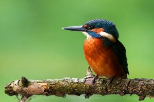 Common Kingfisher by JMrocek