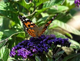 Painted Lady Spreading it's Wings by Michies-Photographyy