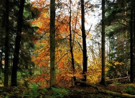 A blaze of beech-tree colours by jchanders