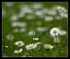 Daisies 2 by Alexandra35