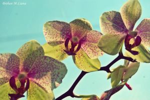 Orchid by summer-flavour