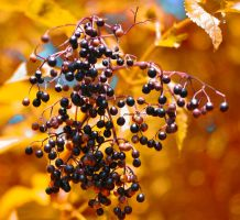 Autumn berries. by jennystokes