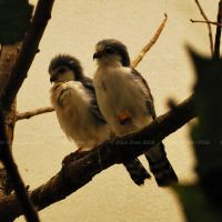 Pygmy Falcons I by meihua