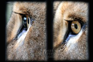 Lion eye by brijome