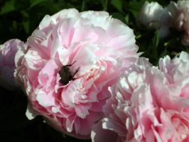 An intruder in my peony by Kitsch1984