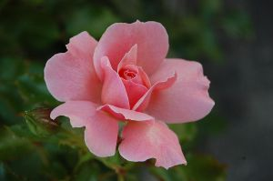 Rose of Sorrento by Mararda