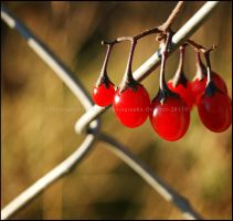 Reds in Golden Light by GrotesqueDarling13