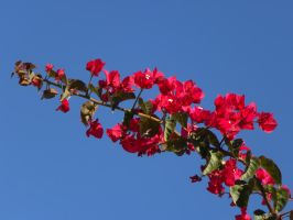 Bougainvilleas by RiverKpocc