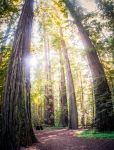 The Redwoods by DanielGliese