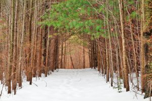 North Point Winter Pine Trail by somadjinn
