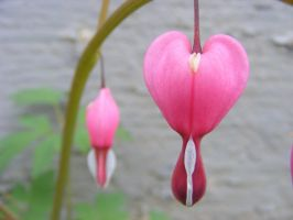 bleeding hearts for Maria by BlueIvyViolet