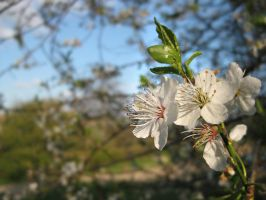 Blossoms 2 by Sigilien