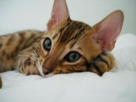 Beautiful Bengal boy. by LucidLapaz