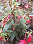 Fuchsia Plants by Hamstarrrr
