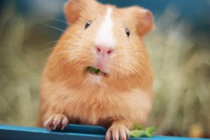 Kanel the Guinea pig by martiinej