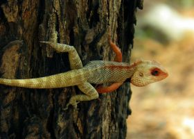 colored garden lizard by kumarvijay1708