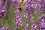 Bumblebee on lavender by kochmanmartin