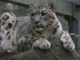Snow Leopard 02 by animalphotos