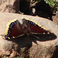 Mourning Cloak Butterfly 1 by FantasyStock