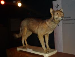 Extinct japanese wolf by DiardiWolf