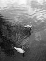 Two Swans by jitlen