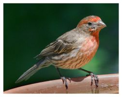 House Finch at The Drinking Place by richardcgreen