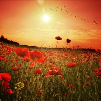 poppy sunset by Fussel2112