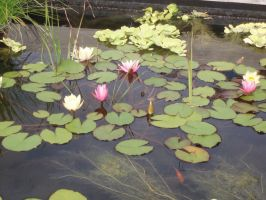 White and Pink Water Lilies by Bwabbit