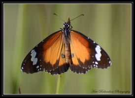 butterfly by DesignKReations