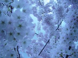Cherry Blossom II by msilvestre