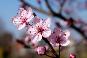 Cherry Blossom 2 by RickyGW