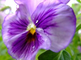 weeping pansy by ThatGirl2