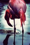 Flamingo by somermonster