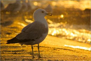 Gull by MmeLeo